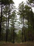 在亚利桑那的山的高,细长的针叶树树 免版税库存照片