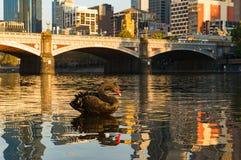 在亚拉河的黑天鹅有在背景的墨尔本都市风景的 免版税图库摄影