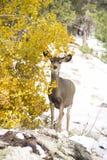 在亚斯本后的母鹿鹿 免版税库存照片
