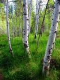 在亚斯本树丛的绿草 免版税库存图片