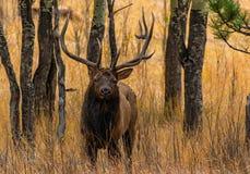 在亚斯本树的一只大公牛麋 库存照片