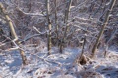 在亚斯本树的雪 免版税库存照片