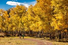 在亚斯本路的步行在秋天 免版税图库摄影