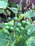 在亚洲本地产的茄子 库存照片