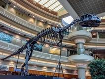 在亚特兰大国际机场里面的恐龙骨骼 库存照片