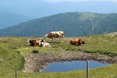 在亚蓝闪石的山的母牛 免版税库存图片