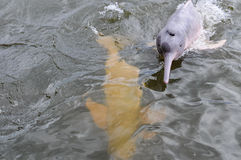在亚马逊雨林的桃红色海豚,巴西 免版税库存照片