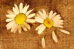 在亚麻布的二朵春黄菊花 免版税库存图片