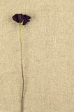 在亚麻帆布背景的一朵长的干燥红色玫瑰 免版税库存图片