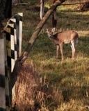 在交配季节期间的幼小白尾鹿 库存照片