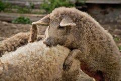 在交配季节期间的猪 库存图片