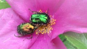 在交配季节的两只五颜六色的甲虫 库存照片