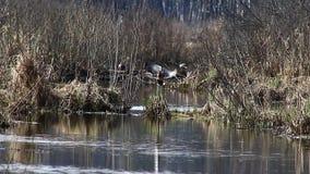 在交配季节的鸭子,在4月,游泳在The Creek,在国立公园'麋海岛'莫斯科,俄罗斯 股票录像