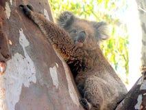 在产树胶之树的树袋熊 免版税库存照片