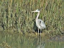 在亨廷顿海滩国家公园的蓝色苍鹭 免版税图库摄影