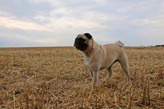在亩茬地的一点哈巴狗画象 免版税库存图片