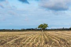 在亩茬地的孤立树 免版税库存照片
