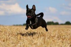 在亩茬地的连续小混杂的狗 库存照片