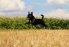 在亩茬地的连续小混杂的狗 免版税库存图片