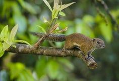 在京那巴鲁国家公园的灰鼠,沙巴 库存图片