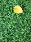 在人为草的小黄色叶子 库存照片