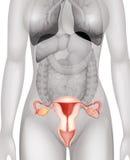 在人体的女性阴部 免版税图库摄影