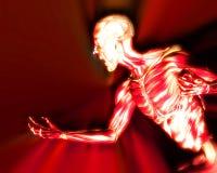 在人体11的肌肉 免版税库存照片