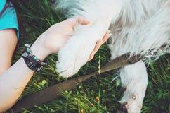 在人和动物,狗之间的友谊给妇女爪子,握手 行家女孩,她的宠物-最好的朋友永远 概念 图库摄影
