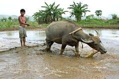 在人和动物,水牛之间的合作 库存图片