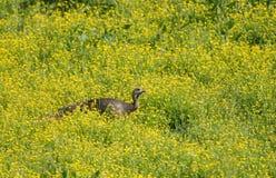 在人工喂养的` s小海湾的一只野生火鸡在大烟山 库存图片