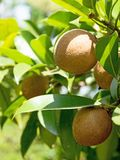 在人心果一个绿色分支的新鲜水果在平直的阳光下的 免版税图库摄影