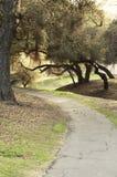 在人行道的小橡树树 图库摄影