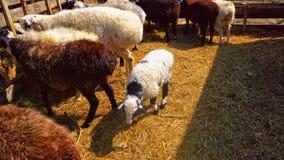 在仓库广场吃干草的绵羊 图库摄影