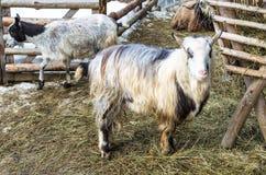 在仓库广场的山羊在饲养者附近在村庄 库存图片
