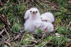 在他们的巢的小苍鹰鹰小鸡 免版税库存图片