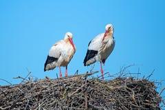 在他们的巢的鹳夫妇春天在葡萄牙 免版税库存图片