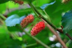 在他们的树枝、选择聚焦和被弄脏的背景的成熟的红色桑树果子 免版税库存图片