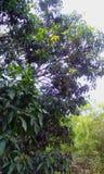 在他们的树的印地安芒果 免版税库存照片