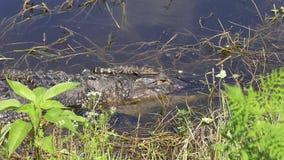 在他们的母亲头的小鳄鱼 影视素材