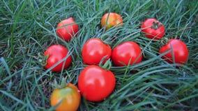 在他们自己的庭院里种植的新鲜的红色蕃茄 影视素材