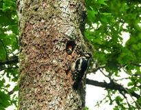 在他的凹陷附近的美丽的啄木鸟鸟与孩子,立陶宛 库存图片