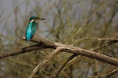 在他的分行栖息的翠鸟 库存图片