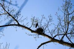 在他的巢的一只乌鸦 库存图片