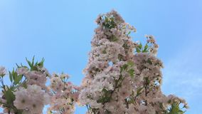 在他的开花的樱桃停放 股票录像
