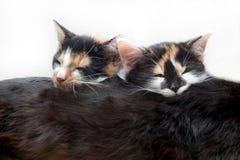 在他的猫母亲的两只小猫睡眠 免版税库存照片