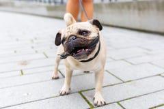 在他的皮带的逗人喜爱的哈巴狗叮咬 免版税库存照片