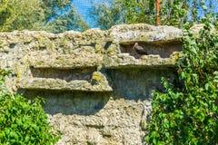 在他的石墙隐藏处的秃头黑隐士朱鹭鸟 库存图片