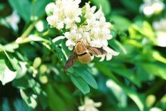 在他的身体的棕色长毛的棕色甲虫翼 库存图片