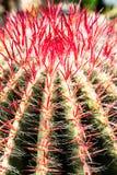 在仙人掌头的宏观射击有长的生动的红色钉的 库存图片