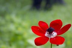 在以色列的银莲花属开花 免版税库存照片